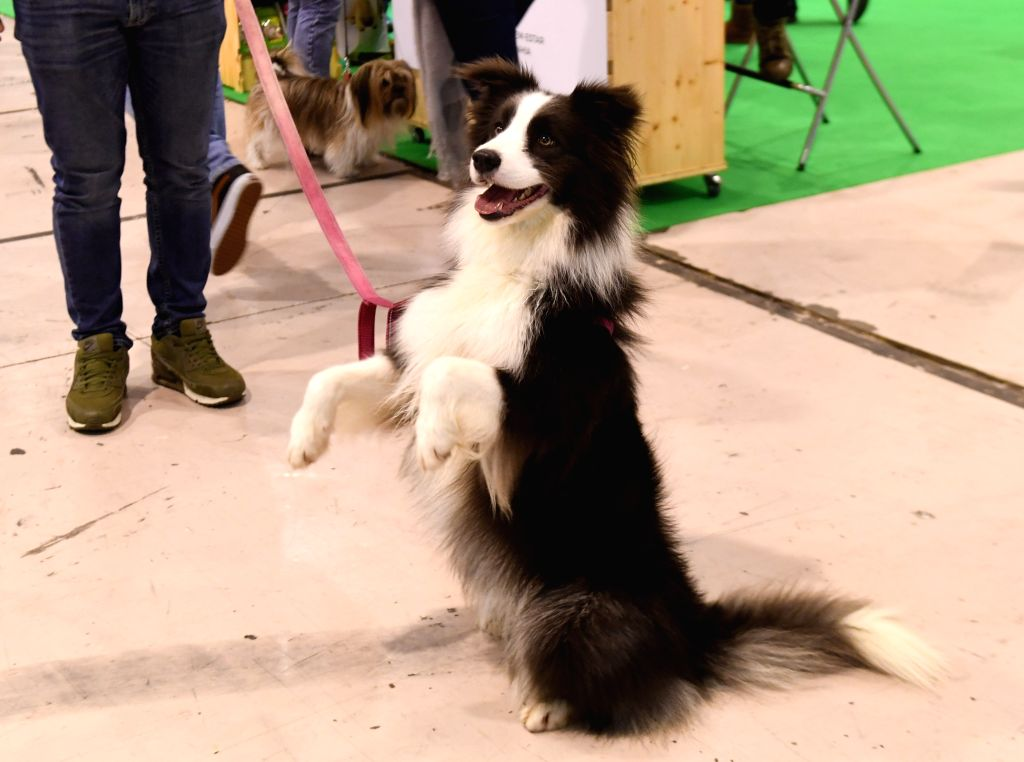 LISBON, Feb. 2, 2019 - A pet dog is seen on the Lisbon Pet Show in Lisbon, Portugal, Feb. 1, 2019. The 2019 Portuguese Pet Show was held here from Feb. 1 to Feb. 3.