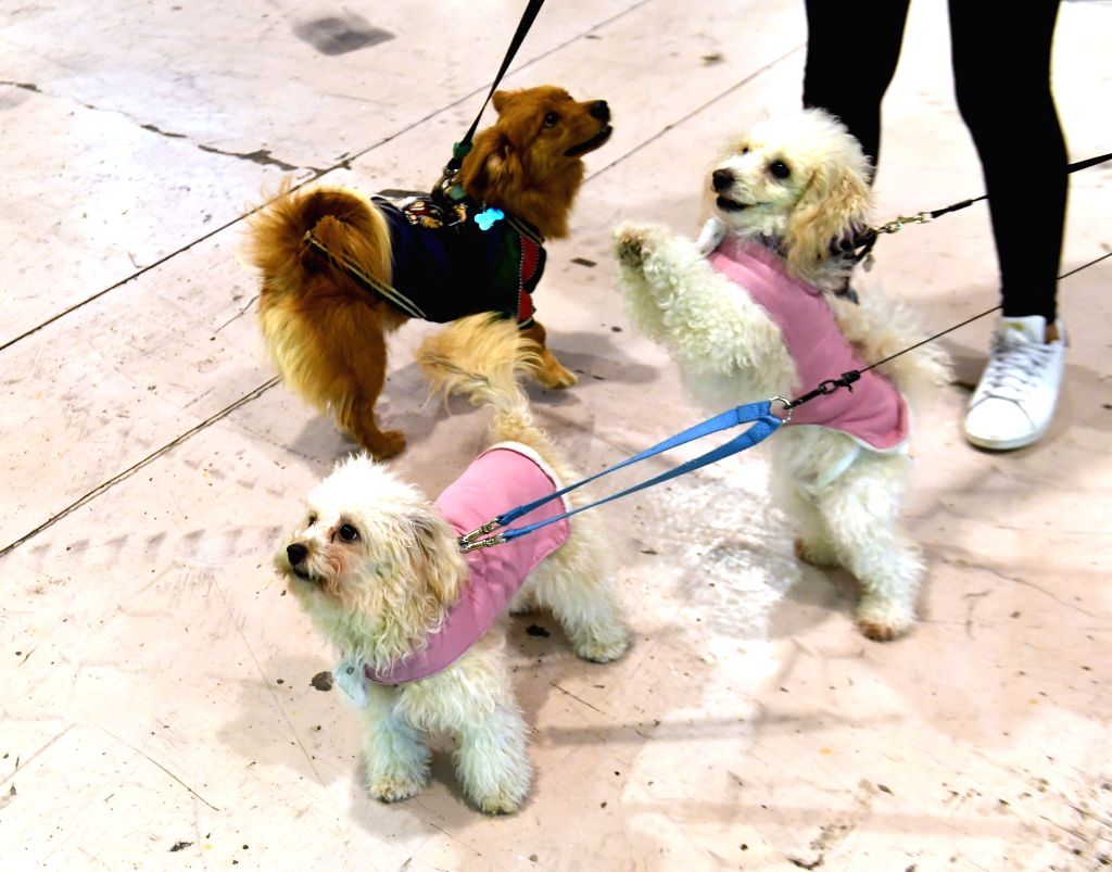 LISBON, Feb. 2, 2019 - Pet dogs are seen on the Lisbon Pet Show in Lisbon, Portugal, Feb. 1, 2019. The 2019 Portuguese Pet Show was held here from Feb. 1 to Feb. 3.