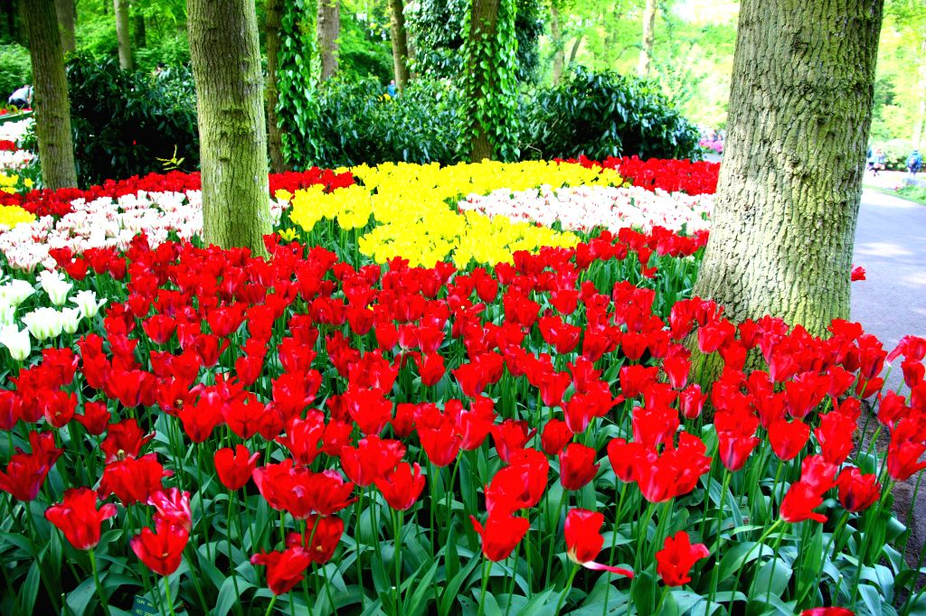 Photo taken on May 1, 2014 shows the Tulips of Keukenhof Garden in Lisse, Netherlands. Keukenhof, also known as Garden of Europe, is the world's most famous Tulip ...