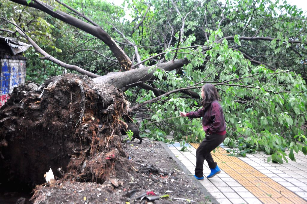 A tree is uprooted after a rainstorm in Liuzhou City, south China's Guangxi Zhuang Autonomous Region, April 26, 2014. A rainstorm lashed the city at night of April
