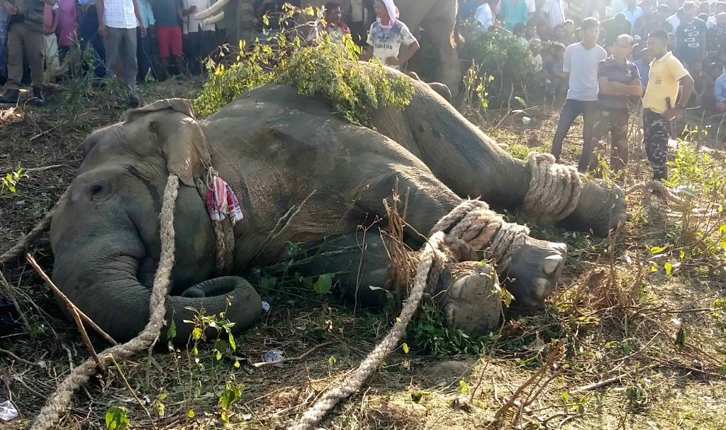 Locals gather around the rogue elephant named after late Al-Qaeda leader Osama bin Laden, that was tranquilized by the officials of the Assam Forest Department following a massive ...