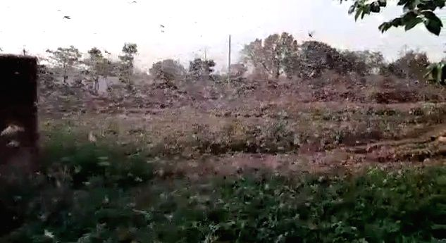 Locust attack farmlands in UP district.