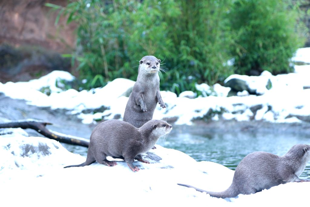 LONDON, Feb. 1, 2019 - Asian short-clawed otters enjoy the snow at ZSL London Zoo in London, Britain, on Feb. 1, 2019.