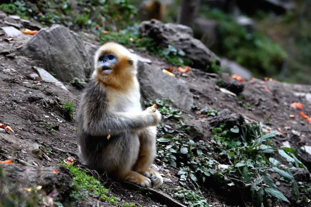 LONGNAN, Nov. 1, 2018 - Photo taken on Nov. 1, 2018 shows a golden monkey at Yuhe National Natural Reserve in Yuhe Town of Longnan City, northwest China's Gansu Province. Golden monkeys are under ...