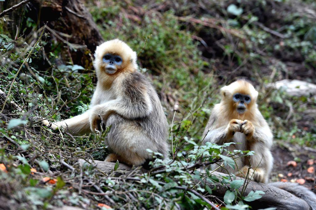 LONGNAN, Nov. 1, 2018 - Photo taken on Nov. 1, 2018 shows golden monkeys at Yuhe National Natural Reserve in Yuhe Town of Longnan City, northwest China's Gansu Province. Golden monkeys are under ...