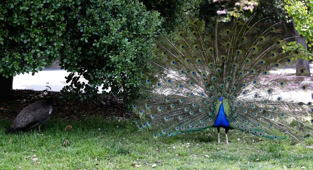 LOS ANGELES, April 21, 2019 - A peacock fans its tail in the Los Angeles County Arboretum and Botanic Garden in Arcadia, Los Angeles County, the United States, April 19, 2019. The Los Angeles County ...