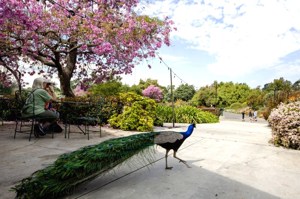 LOS ANGELES, April 21, 2019 - A peacock is seen at the gate of the Los Angeles County Arboretum and Botanic Garden in Arcadia, Los Angeles County, the United States, April 19, 2019. The Los Angeles ...