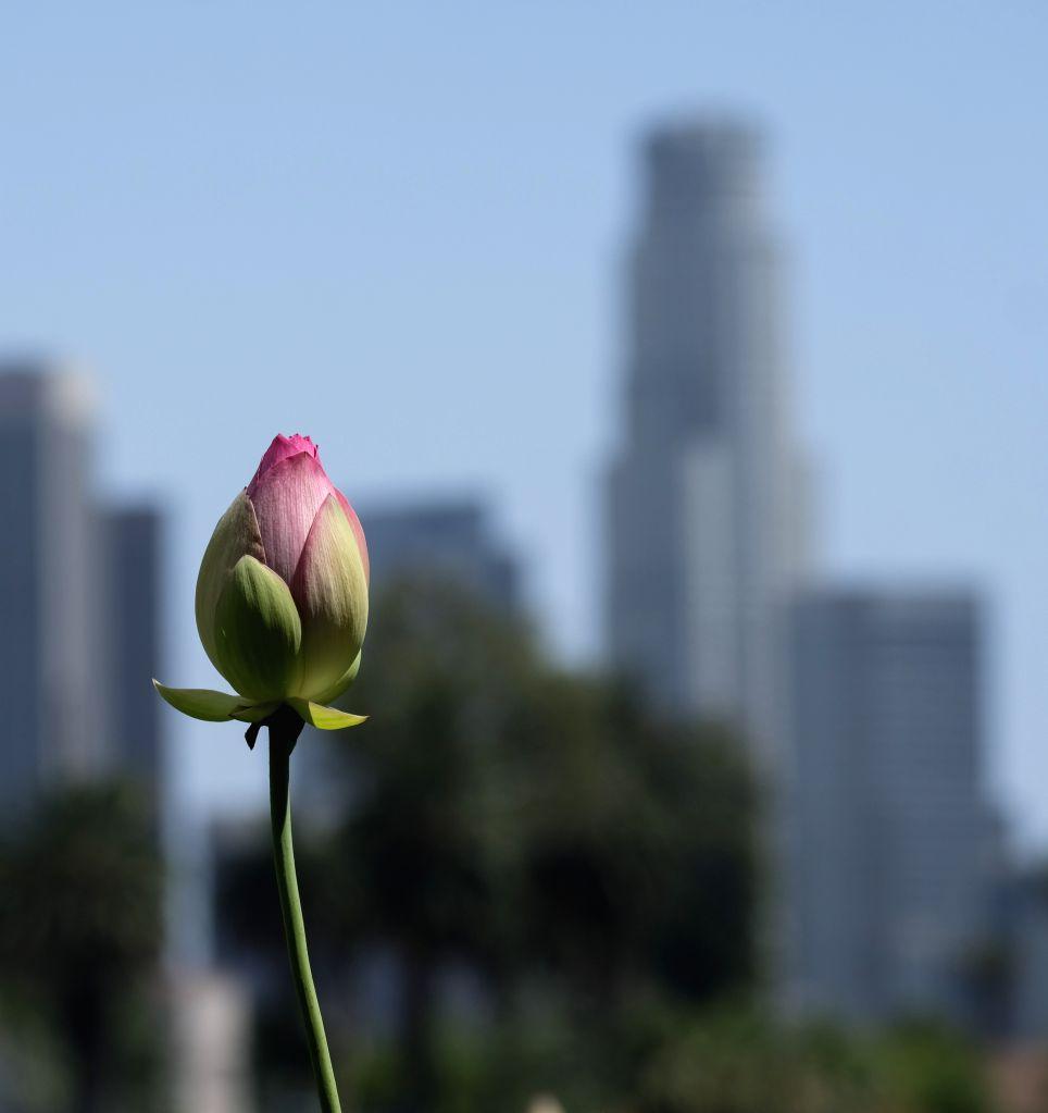 Us Los Angeles Lotus Flower