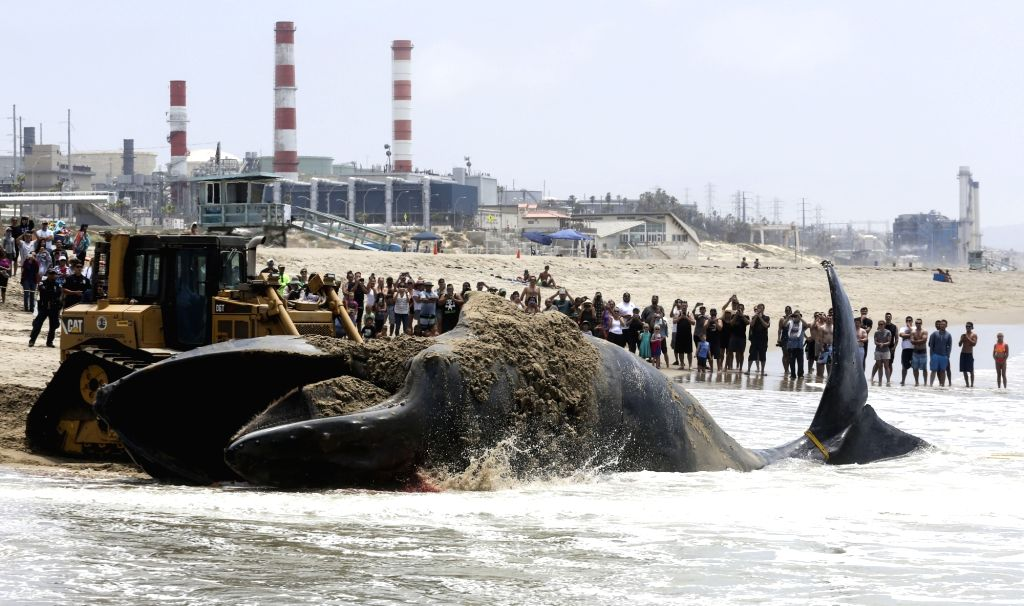 LOS ANGELES, July 2, 2016 - A bulldozer pushes a dead humpback whale into the ocean at Dockweiler State Beach in Los Angeles, California, the United States, on July 1, 2016. The dead humpback whale ...