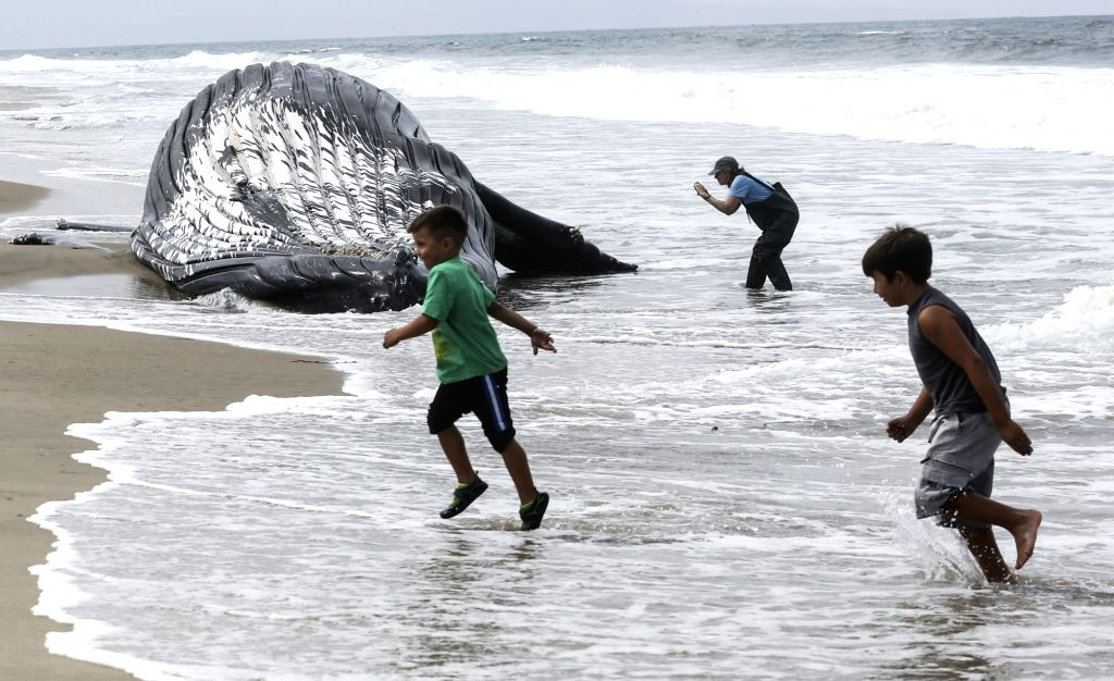 LOS ANGELES, July 2, 2016 - Photo taken on July 1, 2016 shows a dead humpback whale at Dockweiler State Beach in Los Angeles, California, the United States. The dead humpback whale is approximately ...