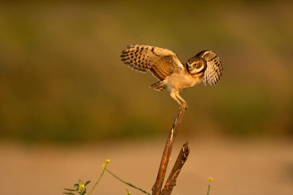 LOS ANGELES, June 14, 2019 - A  young owl learns to fly near the Ontario International Airport in Los Angeles, California, the United States, June 13, 2019.