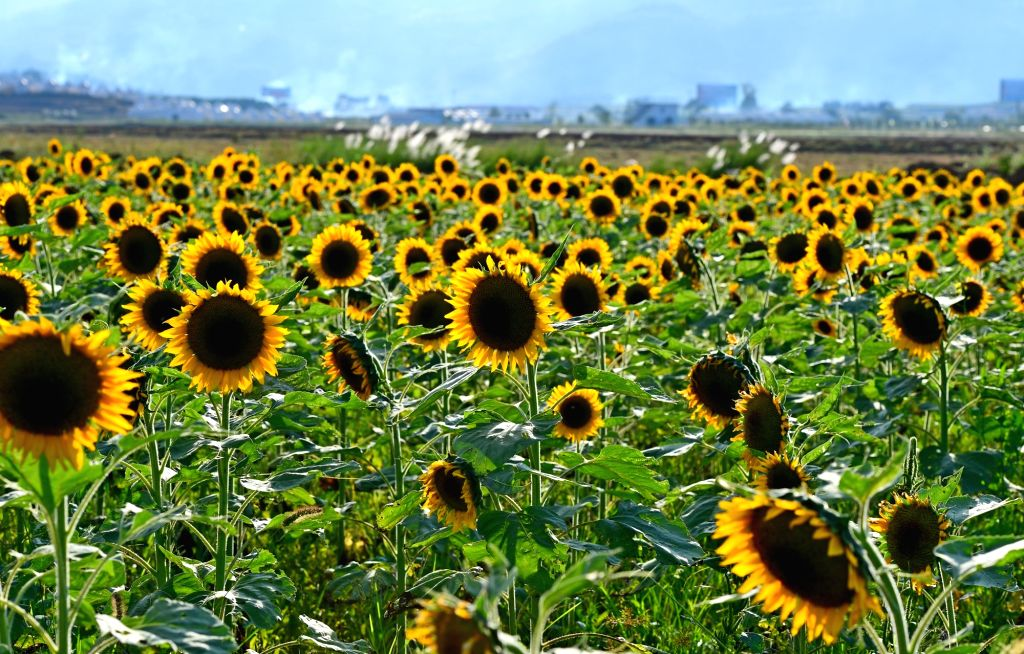 LUOPING, Oct. 10, 2017 - Photo taken on Oct. 9, 2017 shows sunflowers in Luoping County, southwest China's Yunnan Province.