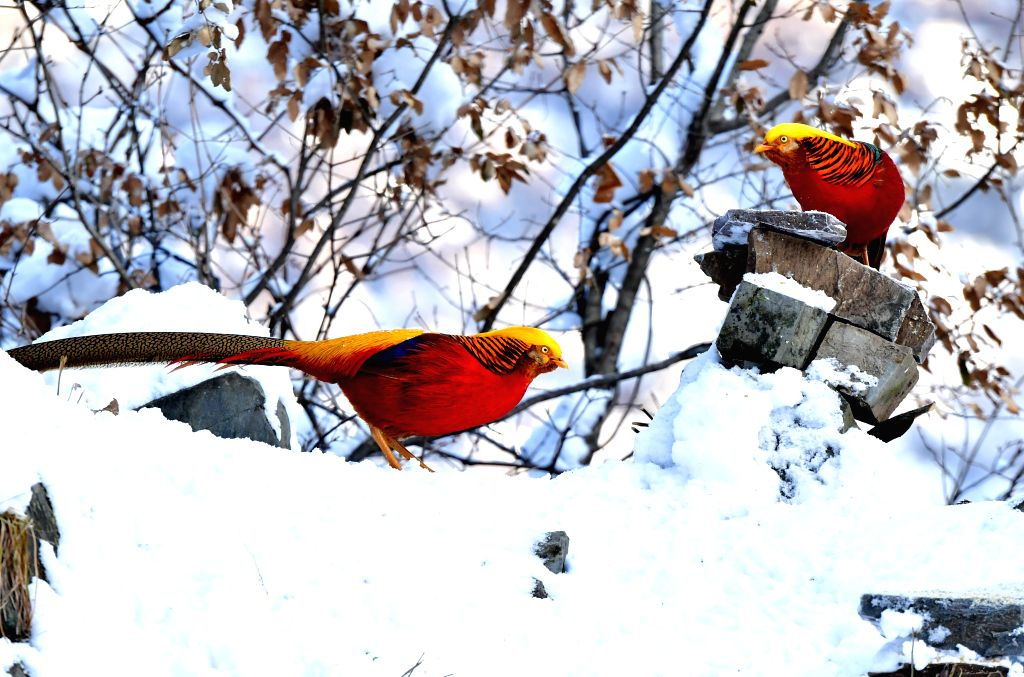 LUSHI, Feb. 2, 2019 - Golden pheasants are seen in the snow near Huiduishi Village of Lushi County, central China's Henan Province, Feb. 1, 2019.