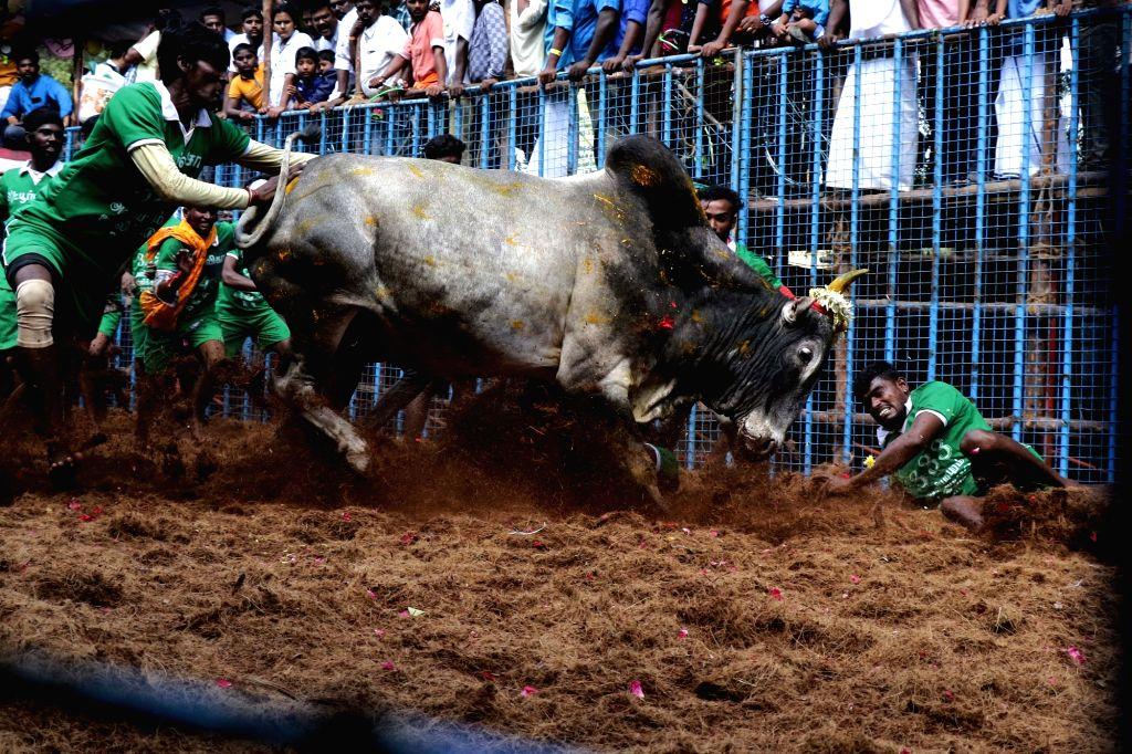 Madurai: The bull taming sport 'Jallikattu' underway at Avaniyapuram in Tamil Nadu's Madurai district on Jan 15, 2020. (Photo: IANS)