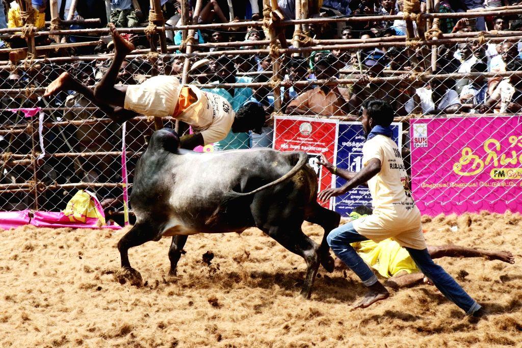 Madurai: The bull taming sport 'Jallikattu' underway at Avaniyapuram in Tamil Nadu's Madurai district on Jan 16, 2020. (Photo: IANS)