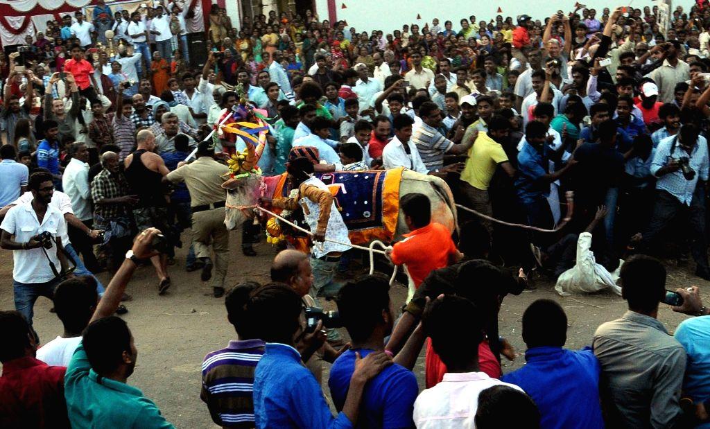 Makar Sankranti celebrations underway in Msyuru on Jan 15, 2016.