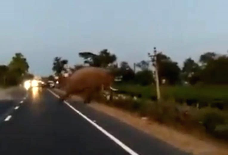 Man eager to cross road; escapes from being hit by elephant.