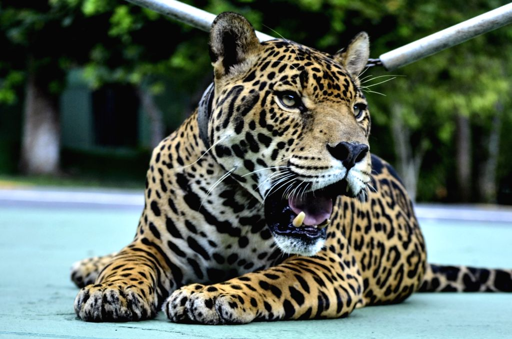 MANAUS, June 23, 2016 - File photo taken on April 23, 2013 shows the jaguar Juma resting in Manaus, Brazil. Rio 2016 organizers issued an apology on Tuesday after a jaguar that featured in an Olympic ...