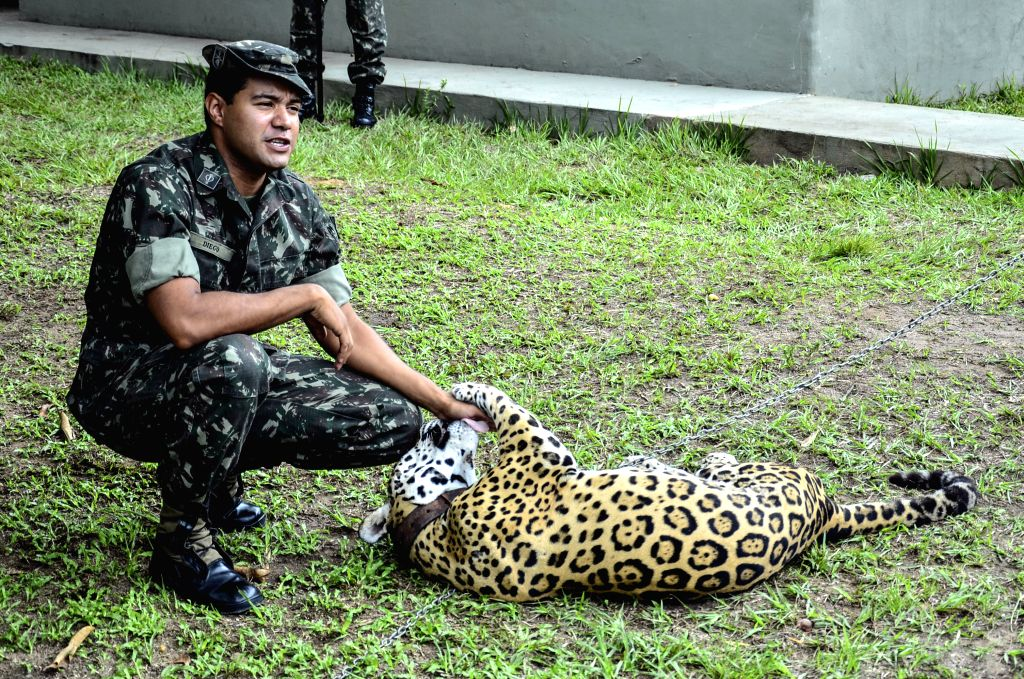 MANAUS, June 23, 2016 - File photo taken on April 23, 2013 shows the jaguar Juma being tamed in Manaus, Brazil. Rio 2016 organizers issued an apology on Tuesday after a jaguar that featured in an ...