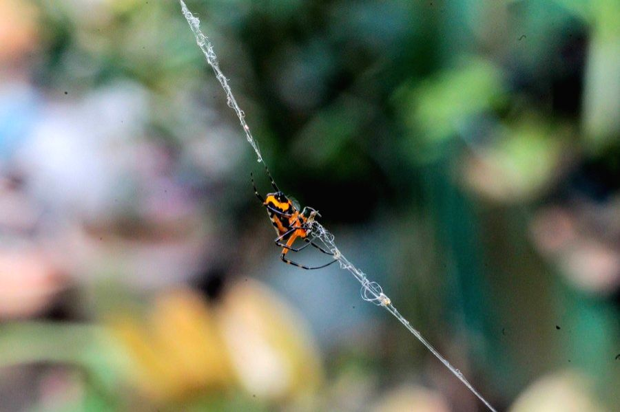 Manila, Dec. 30  --A spider is seen at a park in Manila, the Philippines, Dec. 29, 2020.