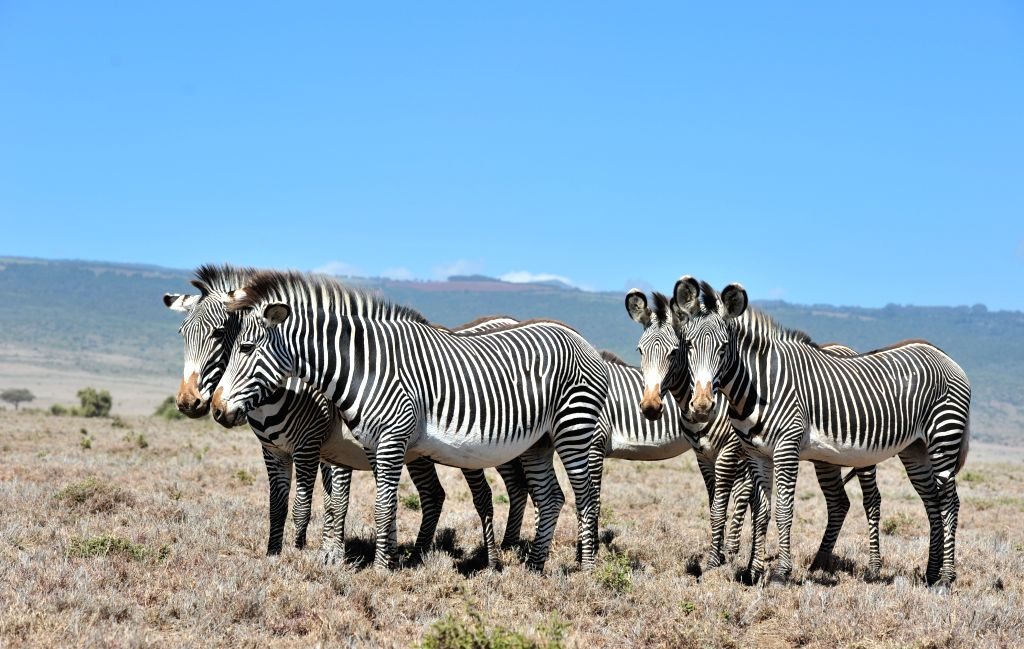 MERU(KENYA), June 25, 2017 Photo taken on June 24, 2017 shows grevy's zebras, an endangered species, at northern Kenya's Lewa Wildlife Conservancy in Meru County.  (Xinhua/Li Baishun)