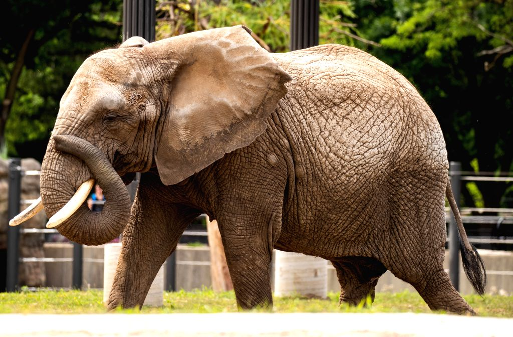 MILWAUKEE, July 31, 2019 (Xinhua) -- The 38-year-old African elephant Brittany is seen at Milwaukee Zoo, Wisconsin, the United States, July 30, 2019. Milwaukee Zoo looks to be the new home for some elephants no longer appearing in circuses. (Photo by