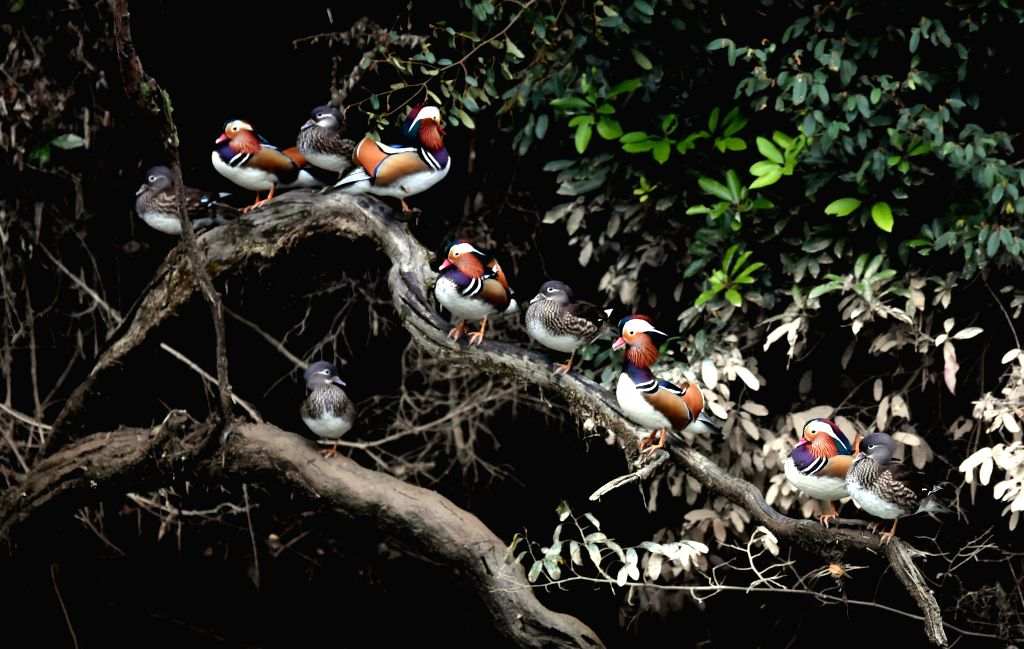 MINGXI, Nov. 30, 2016 - Wild mandarin ducks rest on the tree in Zhongxi Village of Mingxi County, southeast China's Fujian Province, Nov. 30, 2016.