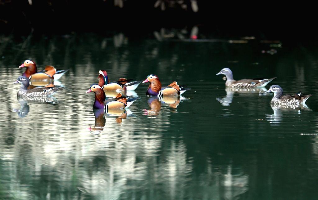 MINGXI, Nov. 30, 2016 - Wild mandarin ducks swim in a stream in Zhongxi Village of Mingxi County, southeast China's Fujian Province, Nov. 30, 2016.