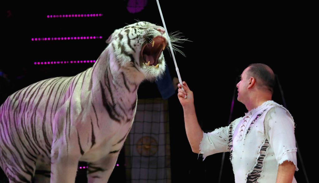 MINSK, Sept. 20, 2019 - A trainer performs with a tiger on the 2nd Minsk International Circus Arts Festival in Minsk, Belarus, Sept. 19, 2019.