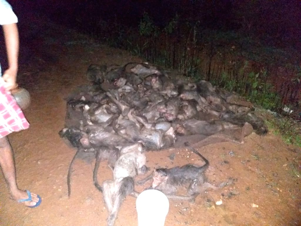 miscreants kill 30 monkeys in K'taka, 2 critical.