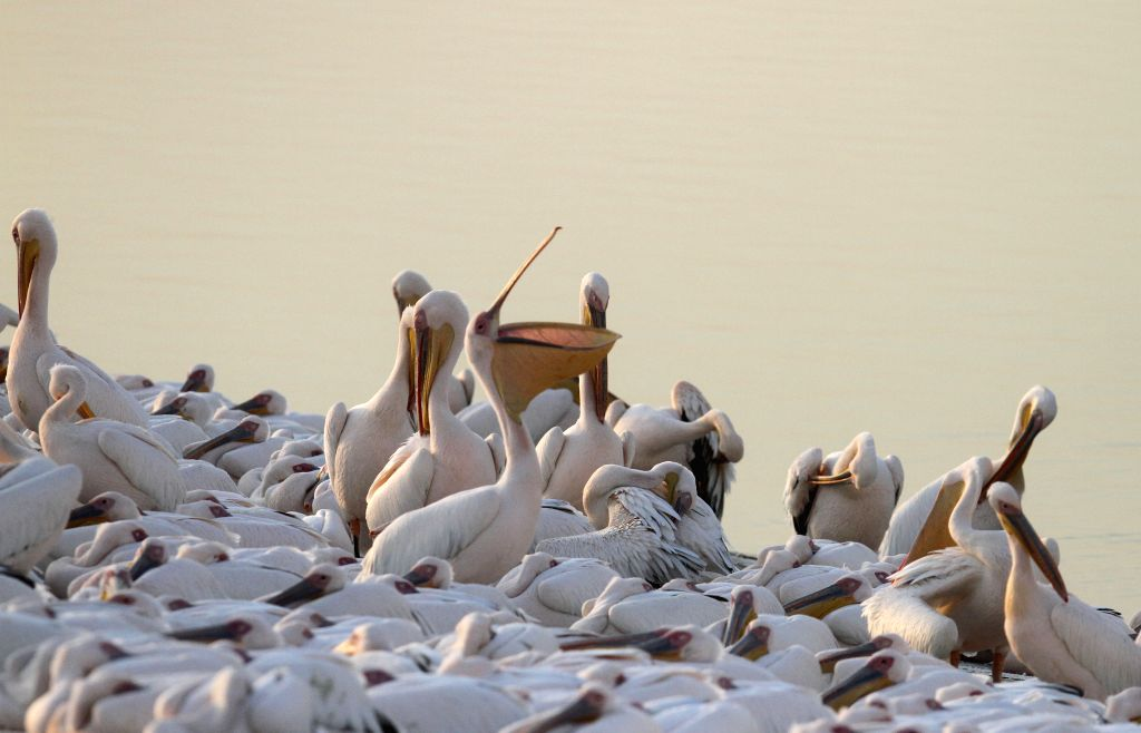 MISHMAR HASHARON (ISRAEL), Nov. 7, 2019 Migrating pelicans are seen at a water reservoir in Mishmar HaSharon, Israel, on Nov. 7, 2019. Every year, thousands of pelicans pass through ...