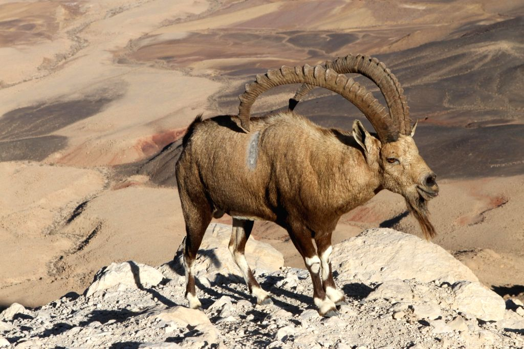 MITZPE RAMON, Oct. 12, 2017 - A Nubian ibex is seen near Mitzpe Ramon in south Israel, on Oct. 11, 2017. The Nubian ibex is a desert-dwelling goat species found in mountainous areas.