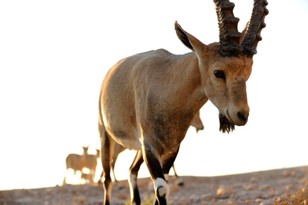 Nubian ibexes are seen in the Negev Desert near Israeli southern town of Mizpe Ramon, on Aug. 17, 2013. The Nubian ibex is a desert-dwelling goat species found .