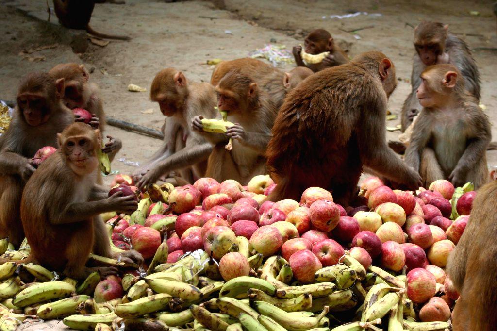 Monkeys have a feast as the followers of Shankaracharya Swami Swaroopanand Saraswati of Dwarka organised a 'Bandar Bhoj` on the eve of his birthday in the premises of Sankat Mochan  Temple in ...