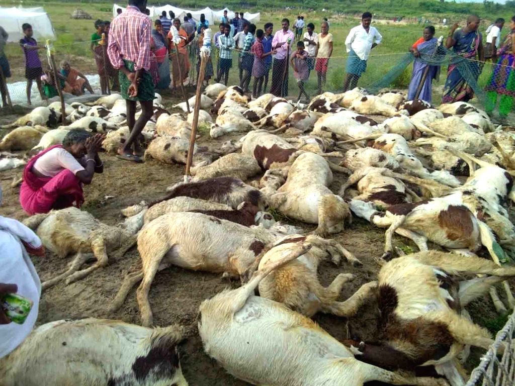 More than 100 sheep were killed after a tree fell on them, in Guntur district of Andhra Pradesh on Oct 9, 2019.