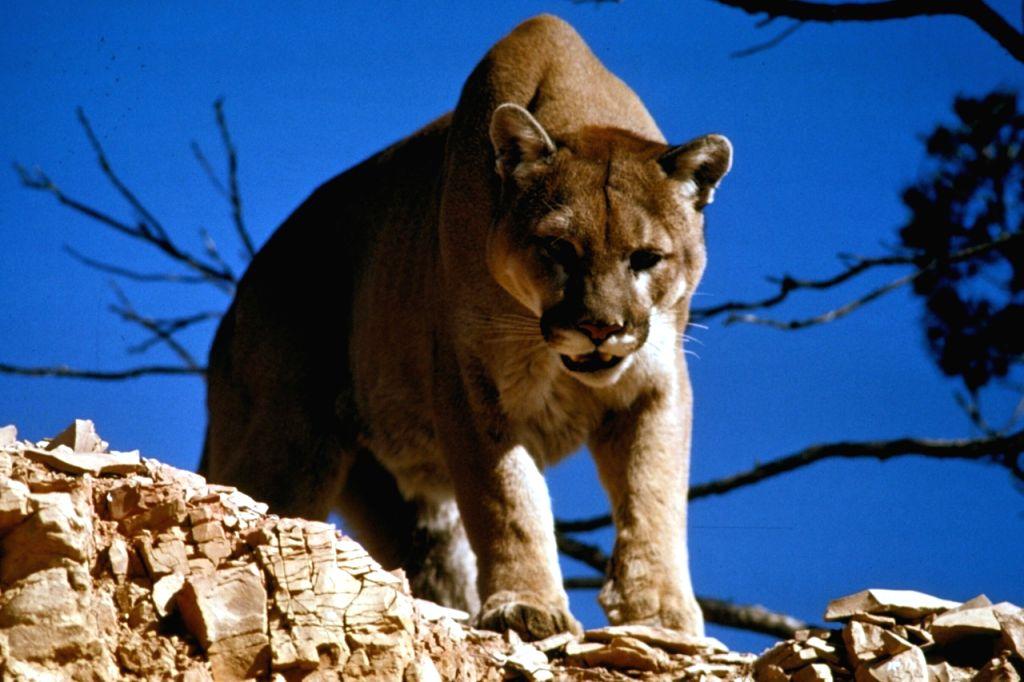 Mountain lions 'adapt' behaviour to save energy.