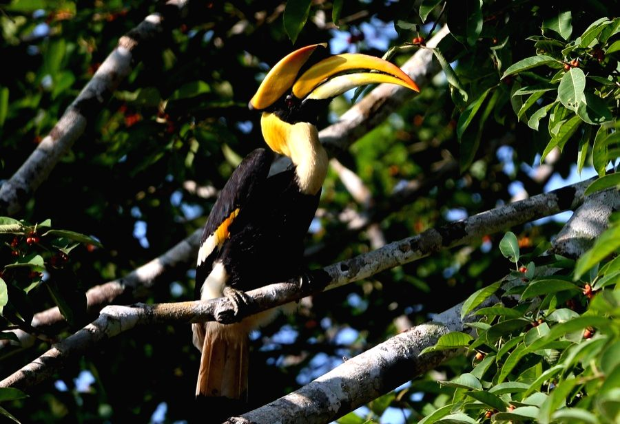 Myanmar, Dec. 21 A great hornbill is seen in Bago Region, Myanmar, Dec. 21, 2020.