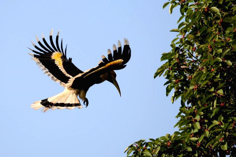 Myanmar, Dec. 22 A great hornbill is seen in Bago Region, Myanmar, Dec. 21, 2020.