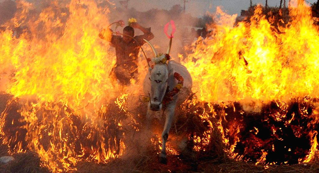 A cow passes through a firewall during a traditional sport organised on Sankaranti in Mysuru on Jan 15, 2015.