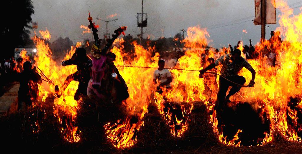 A cow passes through a firewall during a traditional sport organised on Sankaranti in Mysuru on Jan 15, 2015.