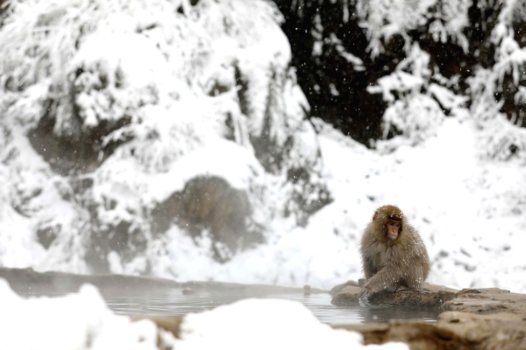 NAGANO, Dec. 27, 2019 - A snow monkey, also known as Japanese macaque, enjoys hot spring at Jigokudani Yaen-koen in Nagano, Japan, Dec. 27, 2019.