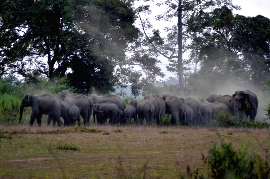 A herd of wild elephants plays with grass and mud as it approaches paddy fields in a village of Assam's Nagaon district on Nov 28, 2014.