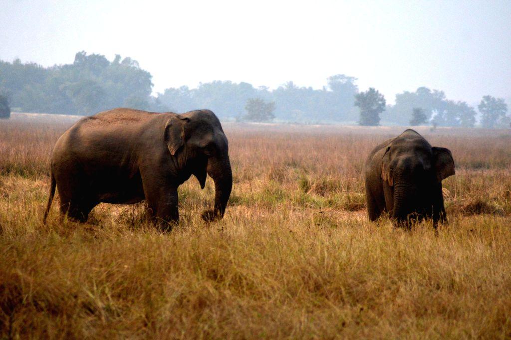 Wild elephants in a paddy field at Kocharikhunda village near Kothiatoli in Nagaon district of Assam on Dec 12, 2014.