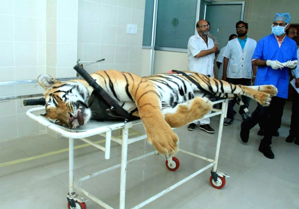 Nagpur: The carcass of tigress Avni or T1 arrives for an autopsy at Gorewada Rescue Centre in Nagpur on Nov 3, 2018. Avni or T1, who is believed to be responsible for killing and devouring 13 humans in the Pandharkawada- Ralegaon forests of Yavatmal