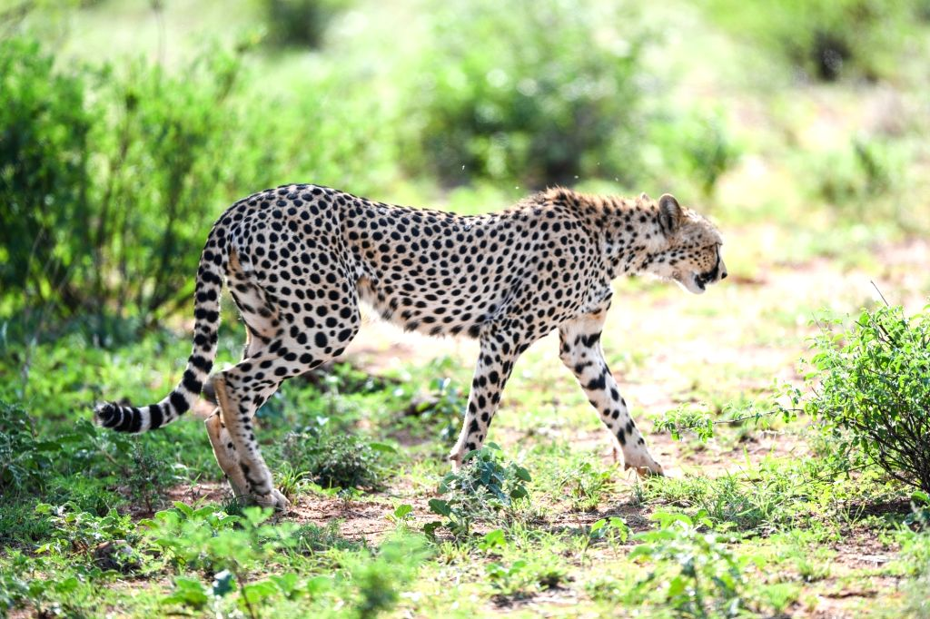 NAIROBI, June 15, 2019 - A cheetah looks for food at Samburu National Reserve, north of Kenya, June 14, 2019. The Samburu National Reserve is located in northern Kenya, covering an area of ...