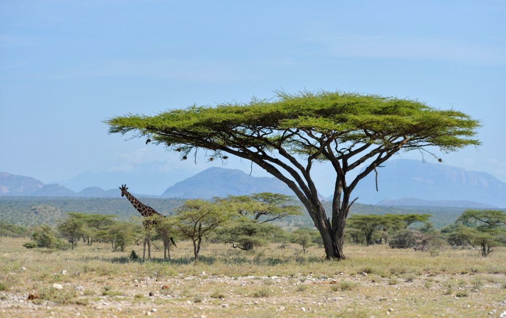 NAIROBI, June 15, 2019 - A giraffe rests under trees at Samburu National Reserve, north of Kenya, June 14, 2019. The Samburu National Reserve is located in northern Kenya, covering an area of ...