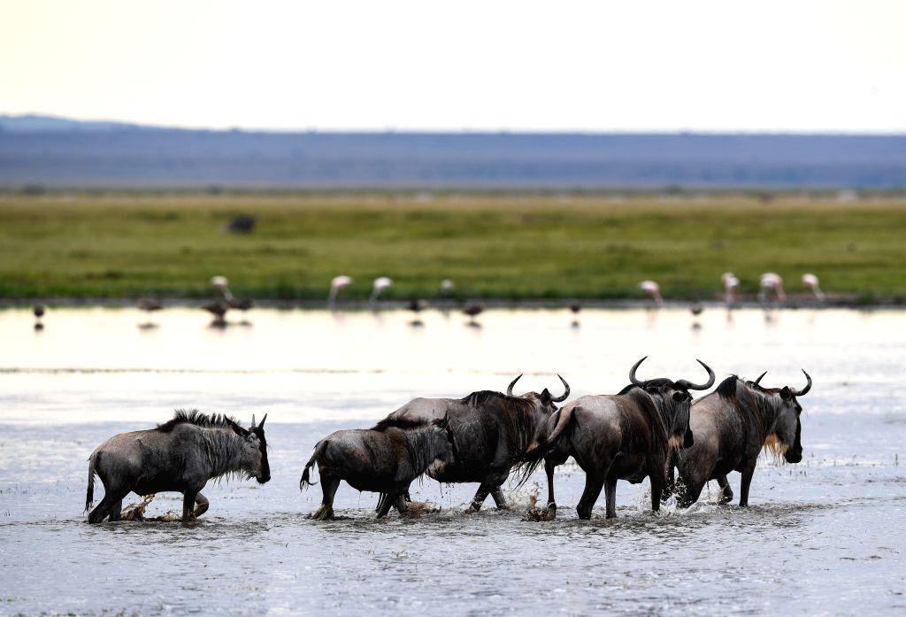 NAIROBI, June 17, 2019 - A flock of gnus are seen in Amboseli National Park, Kenya, June 16, 2019.