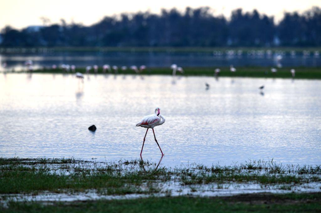 NAIROBI, June 17, 2019 - Flamingos search for food in Amboseli National Park, Kenya, June 16, 2019.