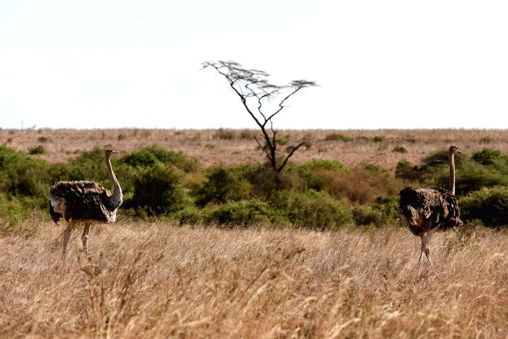 "Two ostriches walk at Kenya's Nairobi National Park in Nairobi, Kenya, March 21, 2015. Kenya's ""long rains"" season which usually begins in March is ..."