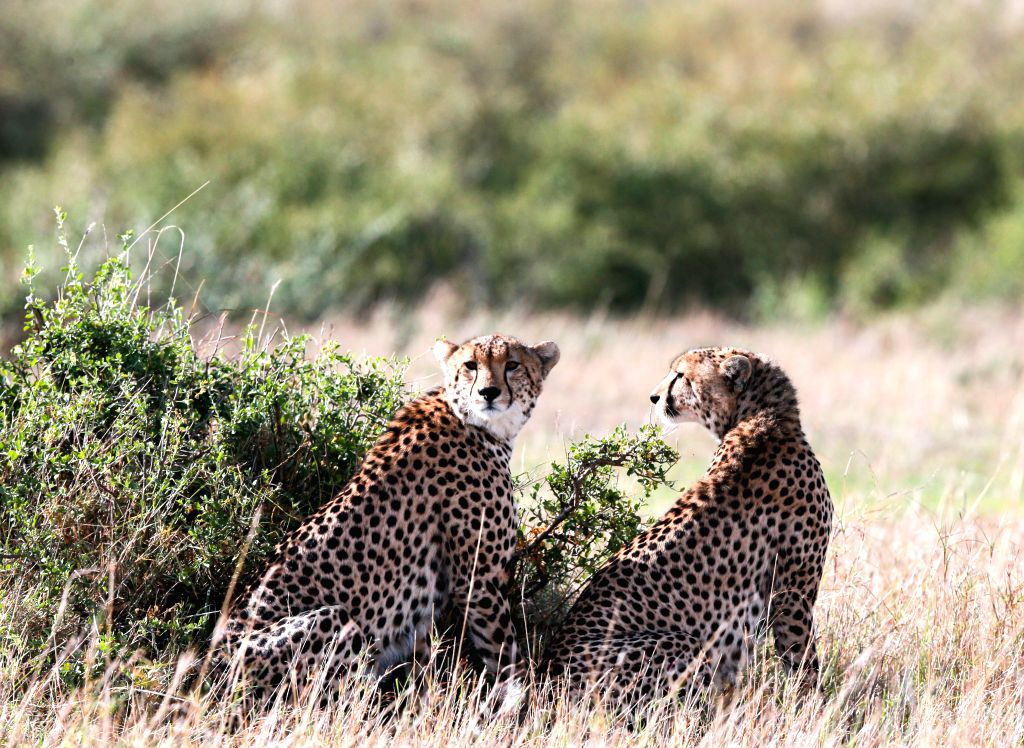NAIROBI, Nov. 30, 2016 - Two cheetahs are seen at the world's famous Maasai Mara National Reserve, Kenya, on Nov. 29, 2016. More than 600 species of both birds and wildlife are found here including ...